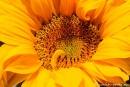 Sonnenblume003
