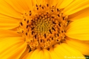 Sonnenblume_gel_scht_014