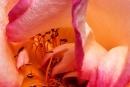 Rose054