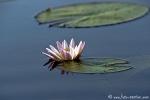 Wasserlilie705