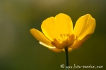 Wiesenblume018
