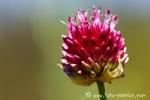 Wiesenblume001