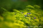 Wiesenblume016