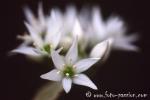 Wiesenblume026