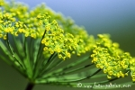 Wiesenblume012