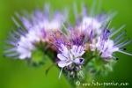 Wiesenblume022