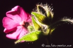 Wiesenblume101