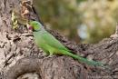 Halsbandsittich (Psittacula krameri), India Parrot