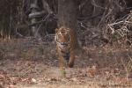 Bengaltiger (Panthera tigris tigris), Bengal tigress male
