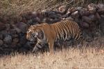 Königstiger (Panthera tigris tigris), Bengal tigress male