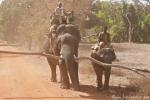 Domestizierte Elefanten