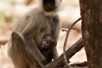 Hanuman Langur (Semnopithecus)