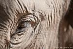 Schau mir in die Augen - Asiatischer Elefant (Elephas maximus), Asian Elephant