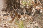 Königstigerin mit 4 - 5 Monate alten Jungen (Panthera tigris tigris), Bengal tigress