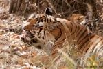Königstiger (Panthera tigris tigris), Bengal tigress female