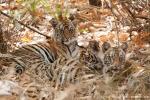 Junge Königstiger (Panthera tigris tigris), Bengal tigress