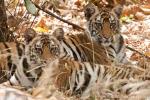 Tigerjunge (Panthera tigris tigris), Bengal tigress