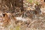 4 - 5 Monate alte Königstiger mit ihrer Mutter (Panthera tigris tigris), Bengal tigress