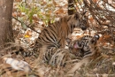 4 - 5 Monate alte Königstiger (Panthera tigris tigris), Bengal tigress