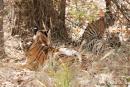 Mutter mit ihren 4 - 5 Monate alten Jungen - Königstiger (Panthera tigris tigris), Bengal tigress