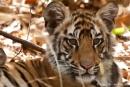 4 - 5 Monate alter Bengaltiger (Panthera tigris tigris), Bengal tigress