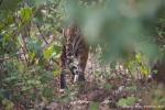 Unser erster Tiger - und schon verschwindet er wieder im Dickicht des Dshungels