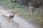Axis-Kitz (Axis axis), Spotted Deer