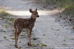 Neugieriger Blick - Axis-Kitz (Axis axis), Spotted Deer