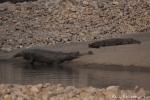 Gangesgavial (Gavialis gangeticus) und Krokodil