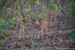 Axis-Kitze (Axis axis), Spotted Deer