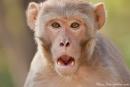 Rhesus Makake (Macaca mulatta), Rhesus Macaque