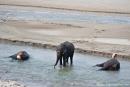 Mahuts baden ihre Elefanten