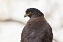 Schlangenweihe (Spilornis cheela), Crested serpent eagle