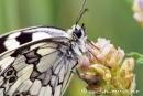 Schmetterling003