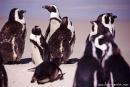 Pinguin001