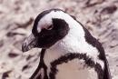 Pinguin007