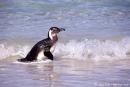 Pinguin033