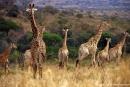 Giraffe015