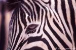 Zebra030