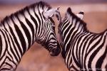 Zebra060