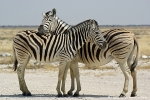 Zebra_DSC01933