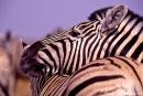 Zebra055