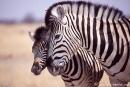 Zebra115