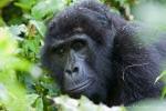 Berggorillas der Nshongi-Gruppe im Bwindi National Park