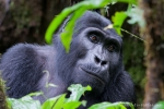 Berggorilla im Bwindi National Park
