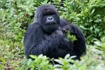 Berggorillas der Ugenda-Gruppe im Park National Volcans (Ruanda)