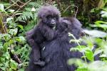Berggorillas im Park National Volcans (Ruanda)