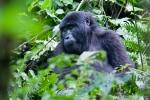 Berggorillas der Rushegura-Gruppe im Bwindi National Park