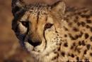 Gepard_DSC00885