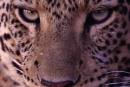 Leopard732